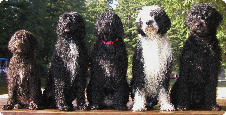 Cosmic Portuguese Water Dogs